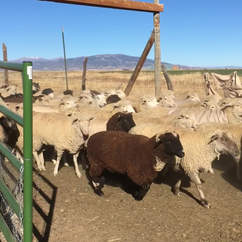Sheep in Southern CO