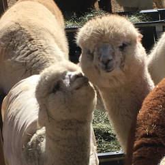 Meet Alpaca?