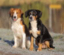 из графства де гамба, питомник собак, щенки энтлебухера, продам