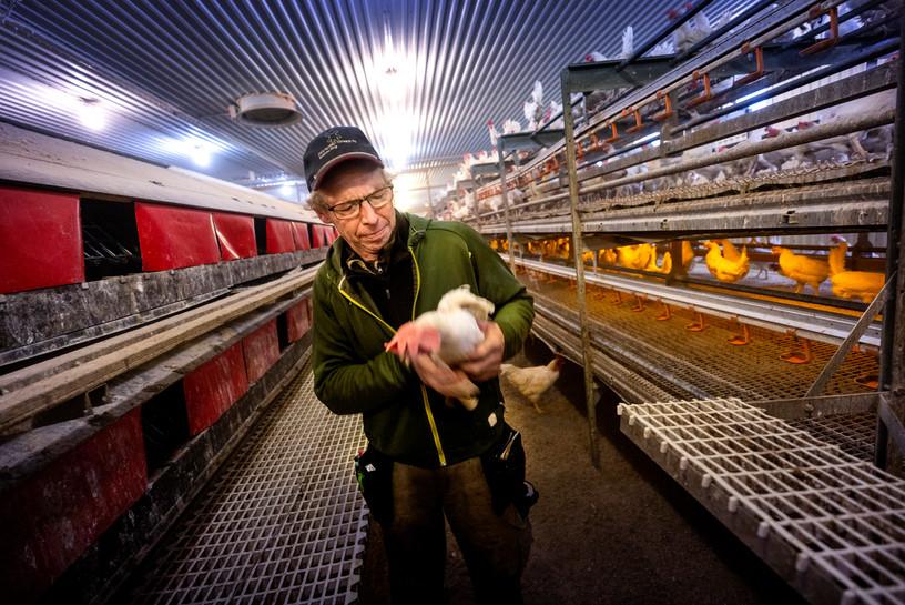 Hönsfarm inför upphandling av ägg, Bildbyrån/Dagens Samhälle 2019.