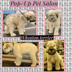 #popuppetsalon#petgrooming#dfw#tgecolonytx#frscotx#carrolltontx#dog #puppy #pup #cute #eyes #dogs_of