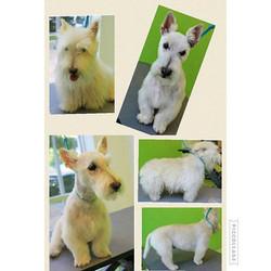#scottie #scottishterrier #scottishterriers #cute #dog #petgrooming #candicedeane #popuppetsalon #fo
