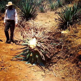 Agave Tequila Harvesting