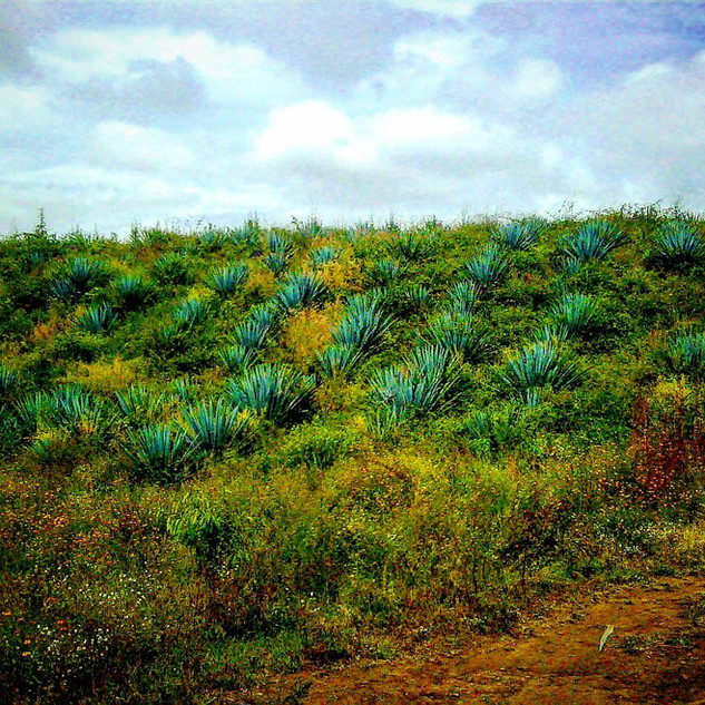 Organic Blue Weber Agave Field
