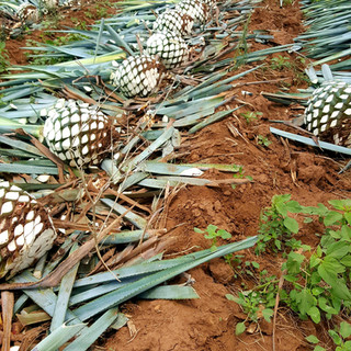Agave Tequila Harvest