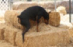 What is Barn Hunt Banner.jpg