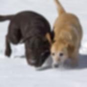 Puppy Scent Work.jpg