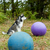 Intro to Treibball: Balancing Skills