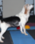 Beginning Canine Conditioning Wix.png