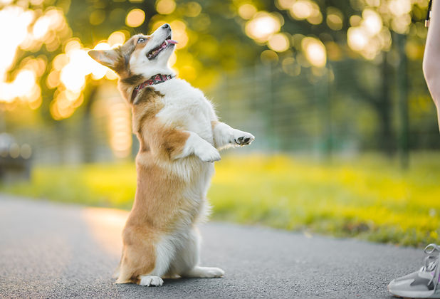 dog corgi standing on his two hind legs,