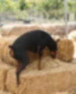 What is Barn Hunt Image.jpg