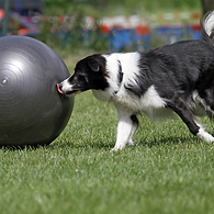 Intro to Treibball: Advanced Balancing