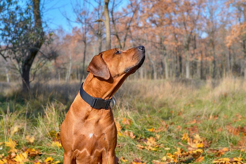 Hound dog sniffing in the forest. Rhodes