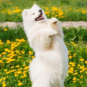 Novice Trick Dog: Tricks for Titles