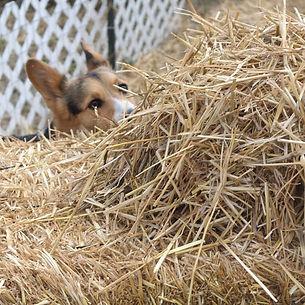 Starting a New Dog in Barn Hunt