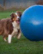 Intro to Treibball Pushing Wix.png