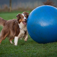 Intro to Treibball: Pushing