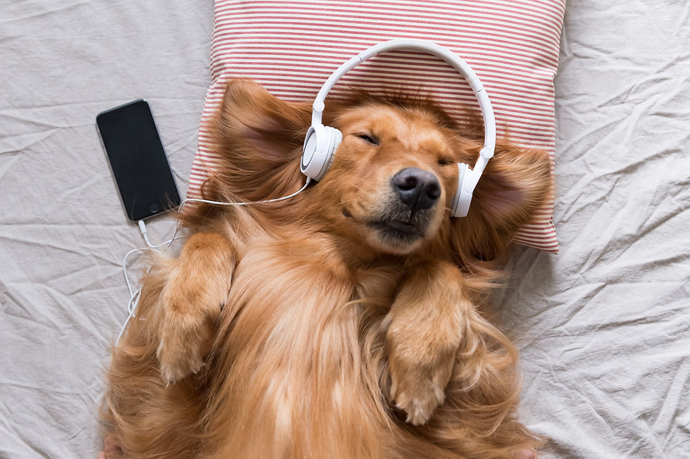 The Golden Retriever wearing headphones