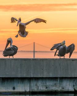 Bay Bridge Kung Fu Pelicans