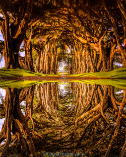 Cypress Tree Tunnel Pt. Reyes