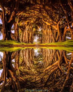 Cypress Tree Tunnel Pt. Reyes
