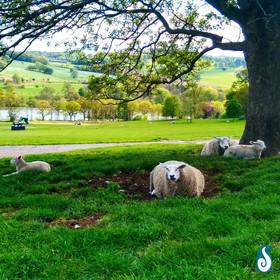 Yorkshire Sculpture Park Sheep