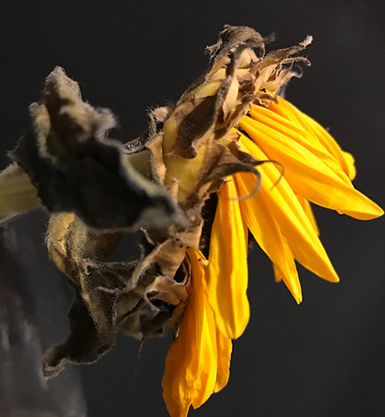 Sunflower August 2020