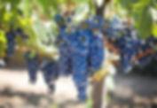purple-grapes-553464_1920.jpg