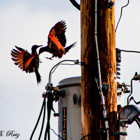 A photo of two birds playing mid-air.