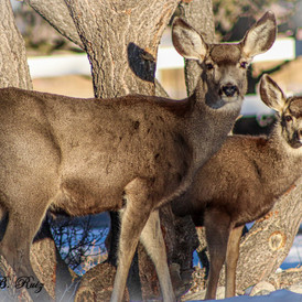 A photo of some local deer.