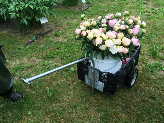 A cart full of 'My Love' Peonies