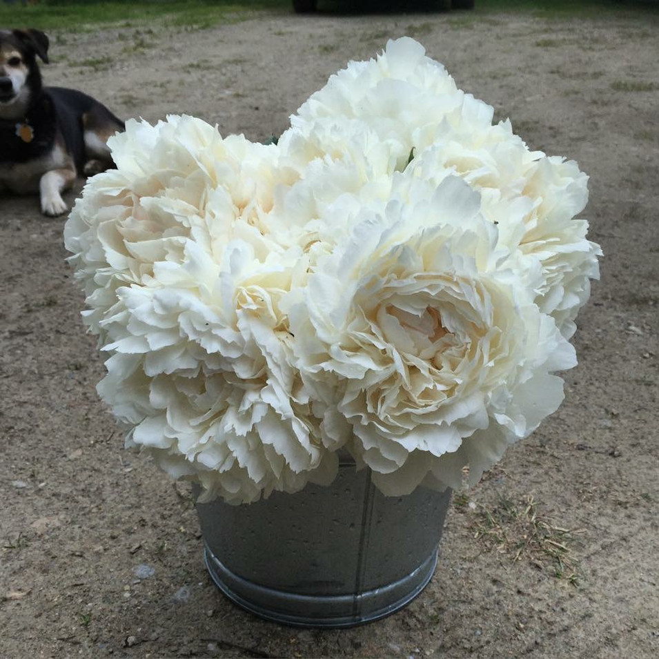 Bucket of Elsa Sass Peonies