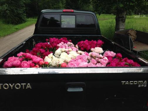 Truckload of Peonies