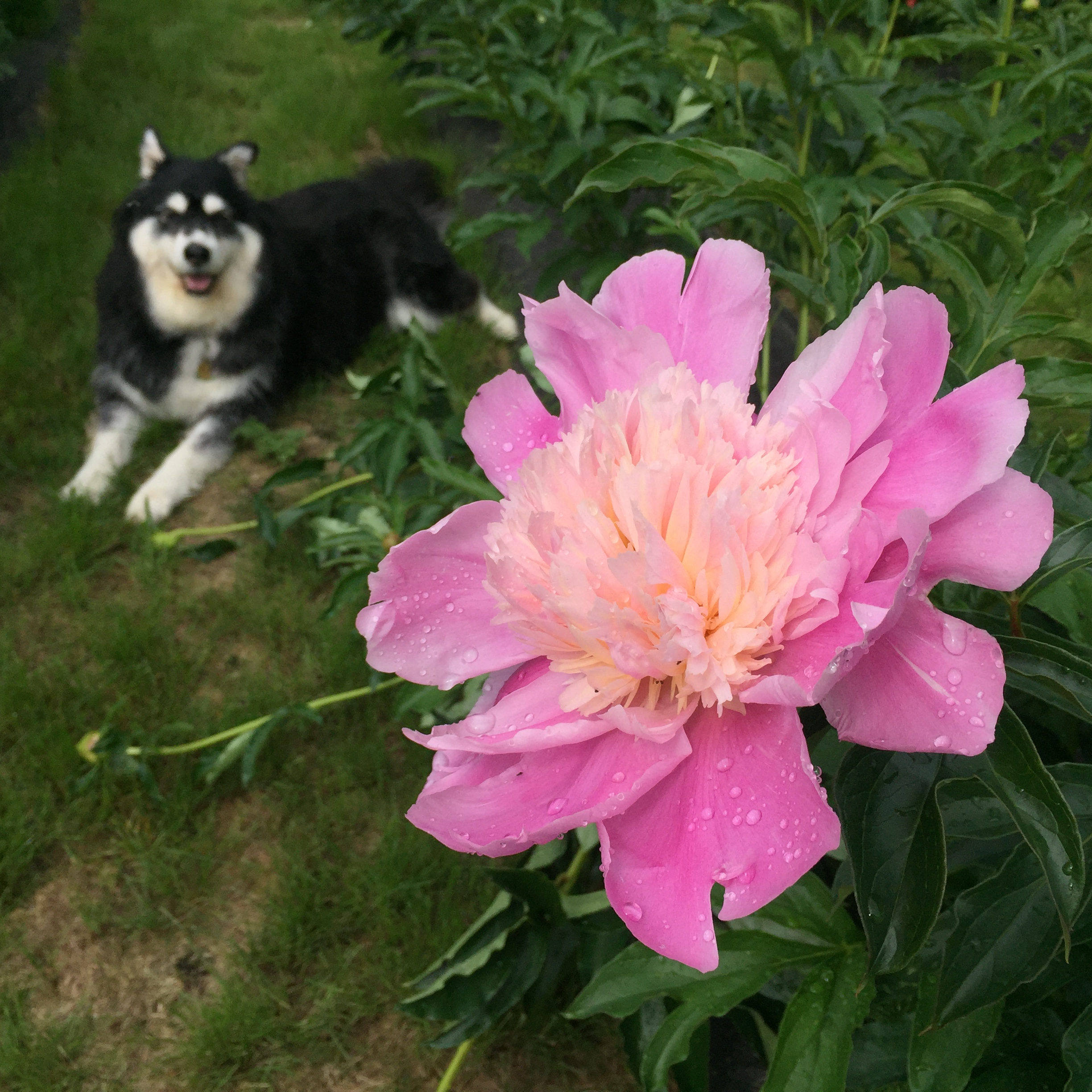 Callie Loves Peonies!
