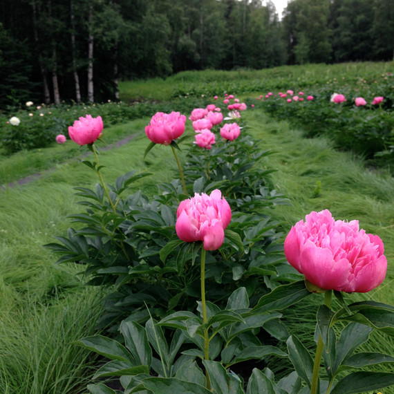 'Joker' Peonies in the Field