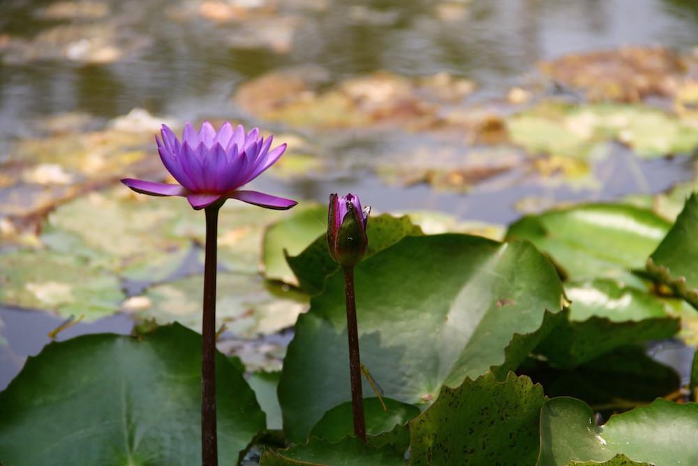 flor de loto, amar, ni una menos, mas amor, niunamenos