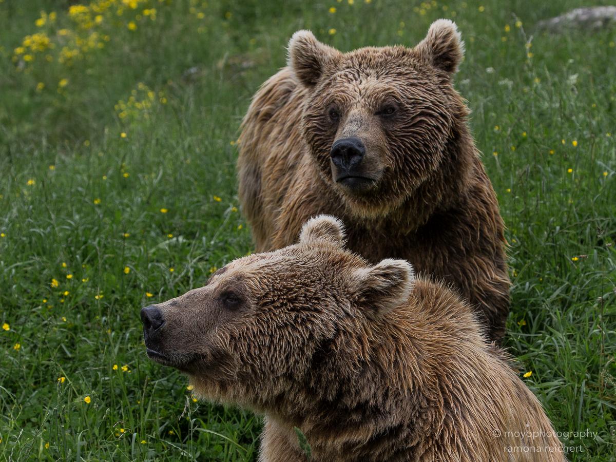 brown bears - tierpark goldau - 2016