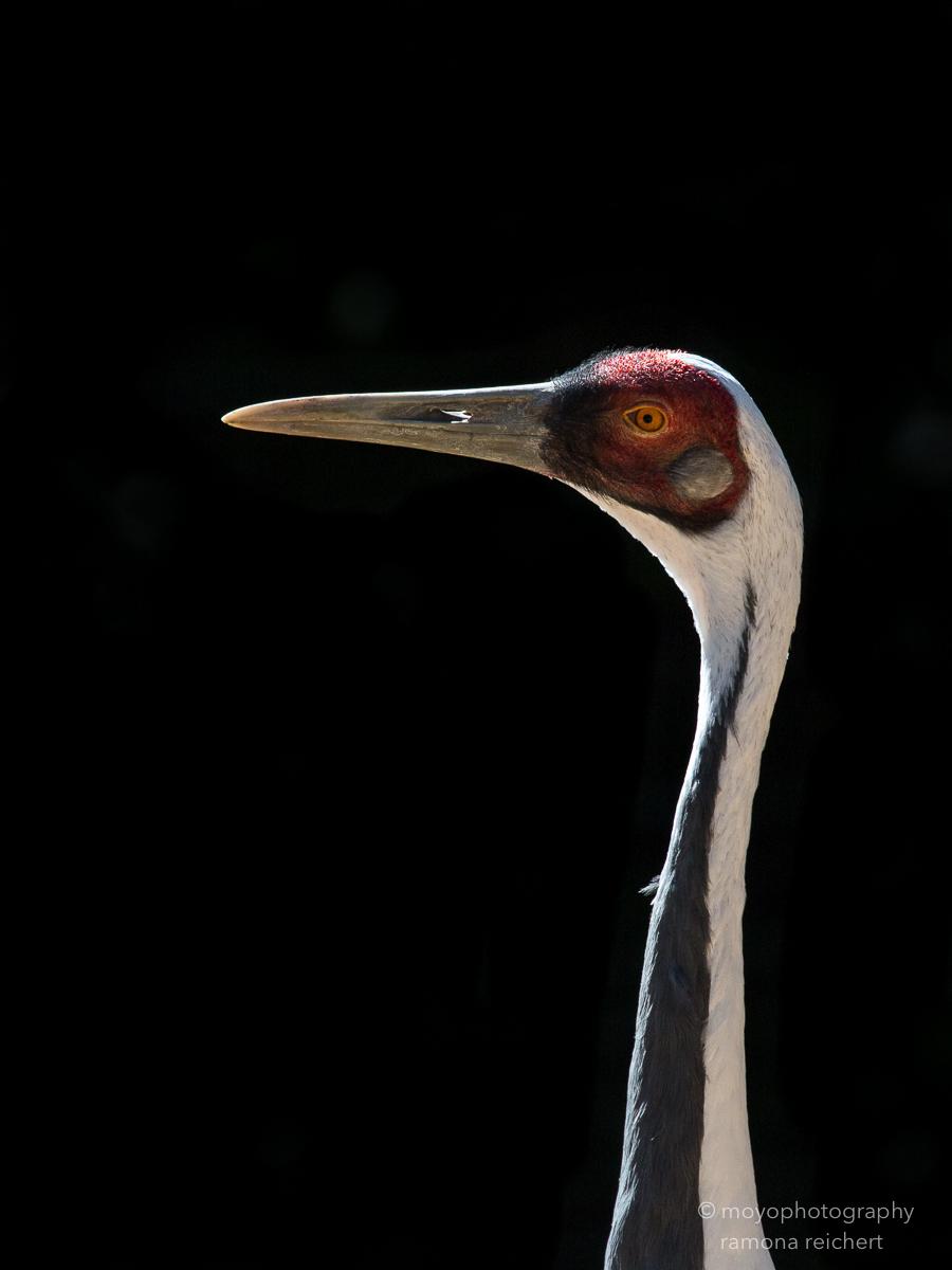 white naped crane- zoo zürich - 2016