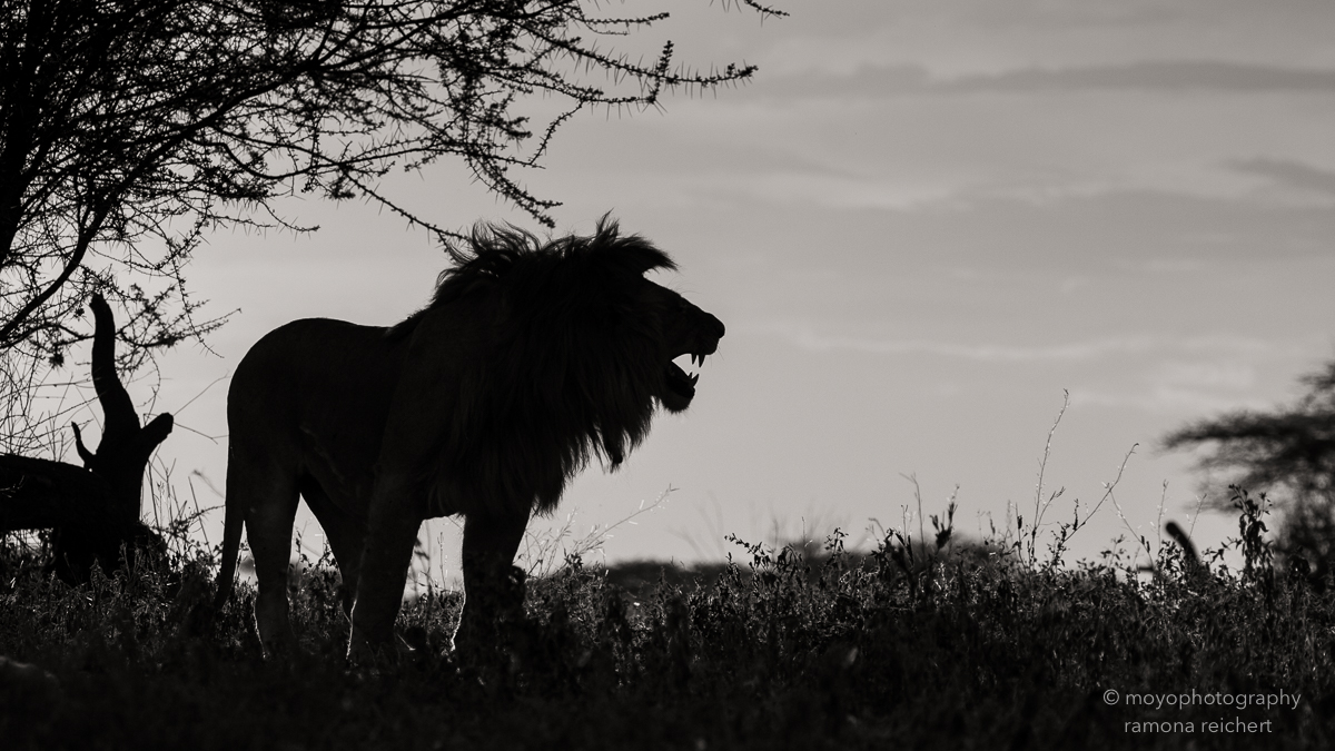 roaring shadow -2015