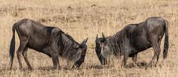 fighting wildebeest - 2015