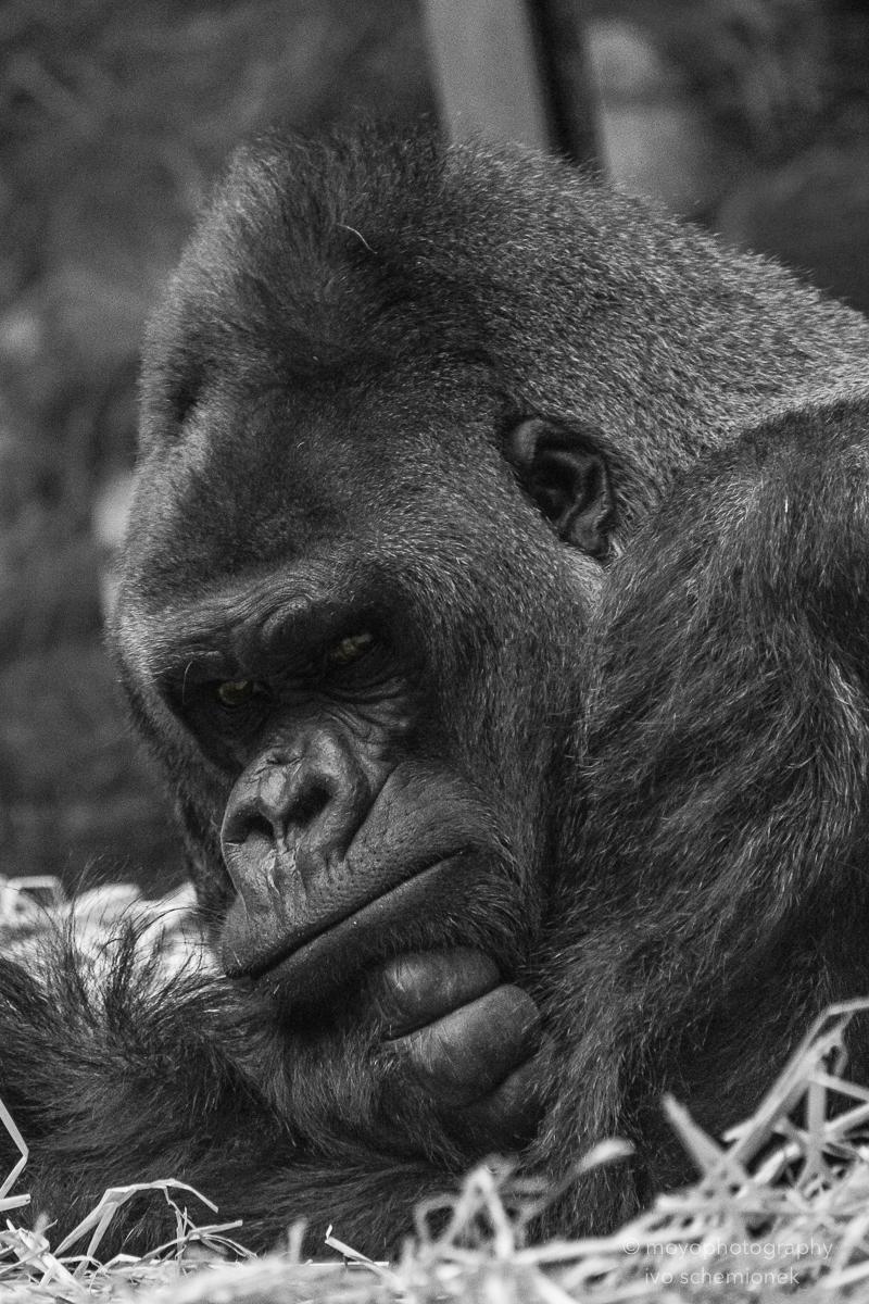 gorilla thinking - zoo zürich -2016