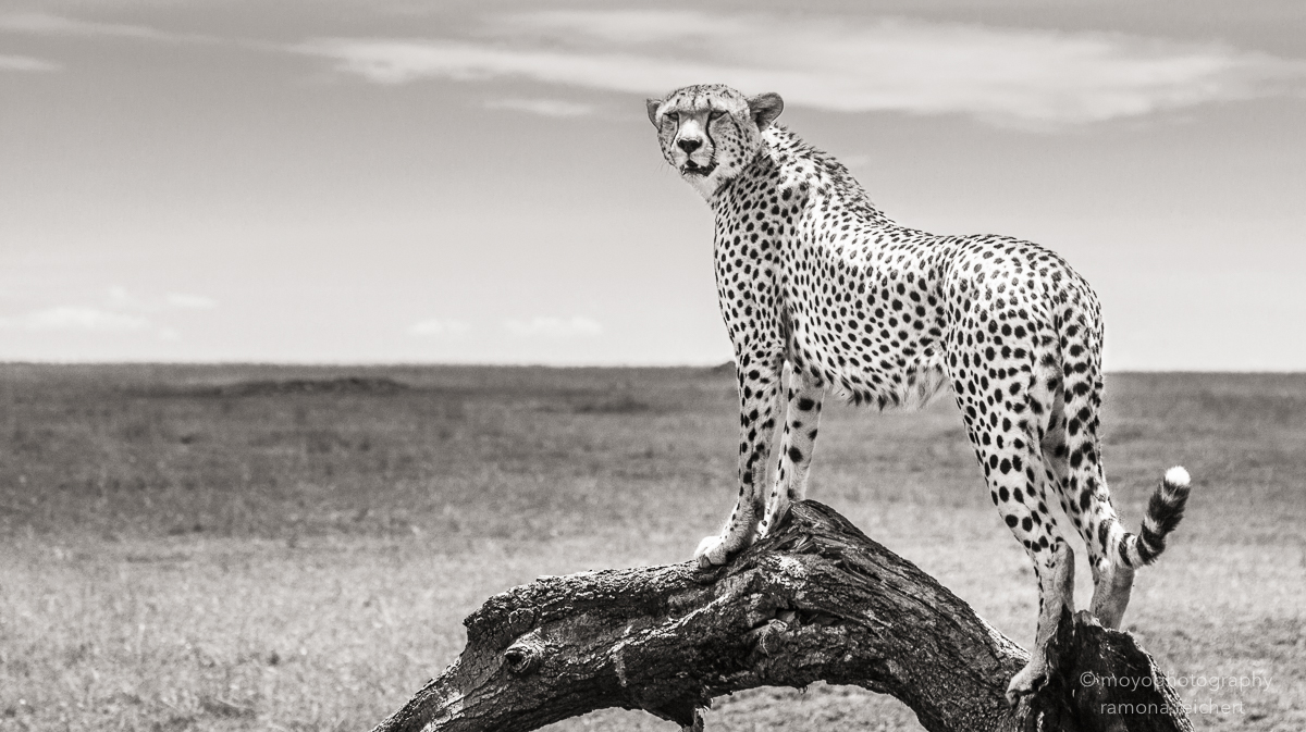 cheetah on the plain - 2014