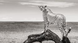 cheetah on the plain - 2014