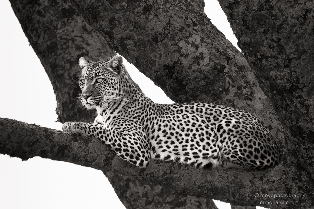 leopard elegance - 2015