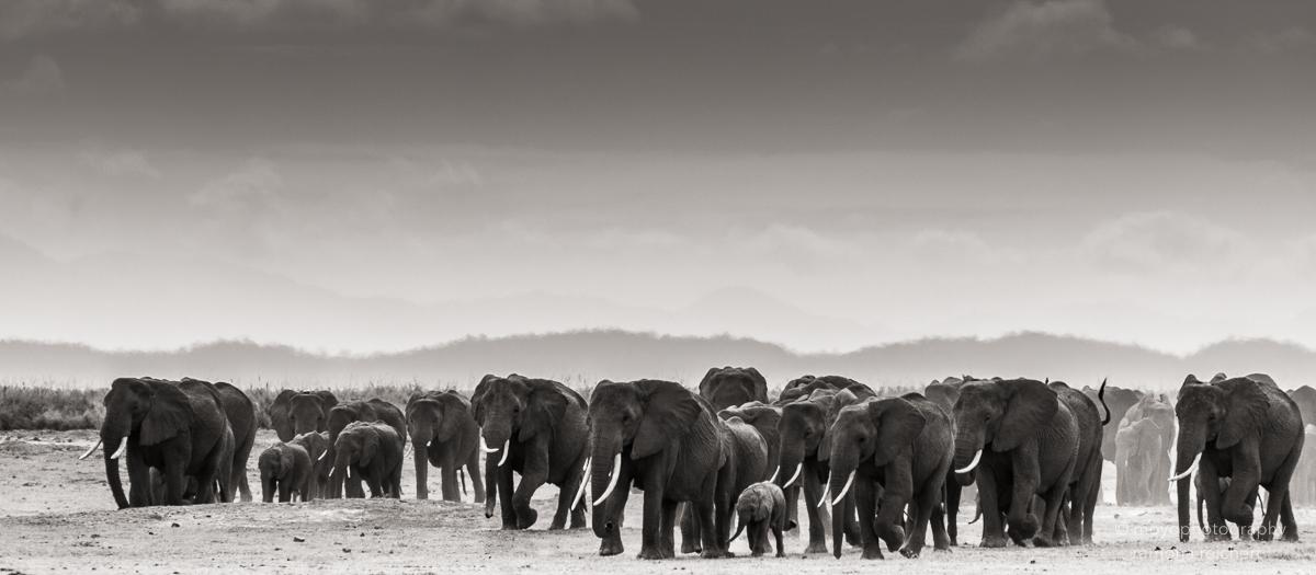 elephant herd amboseli - 2013