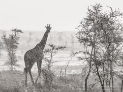 giraffe double face - 2015