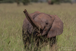elephant trumpet - 2015