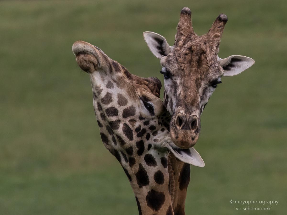 giraffe intimacy - cabarceno - 2015