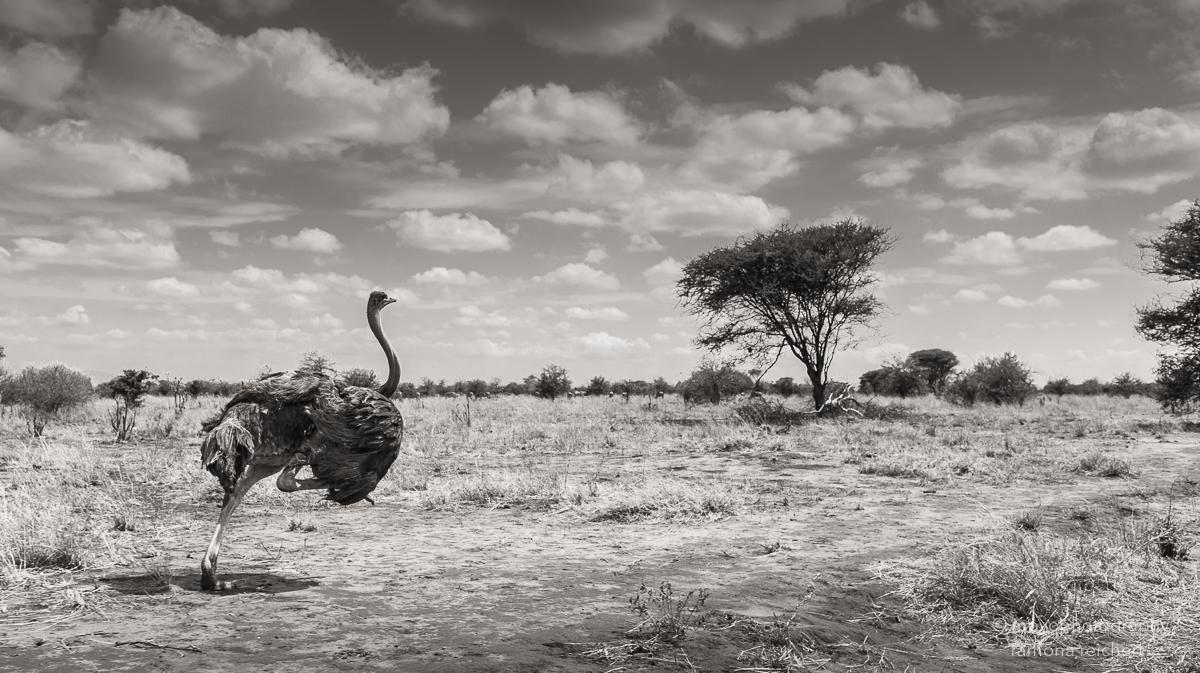 ostrich running - 2015