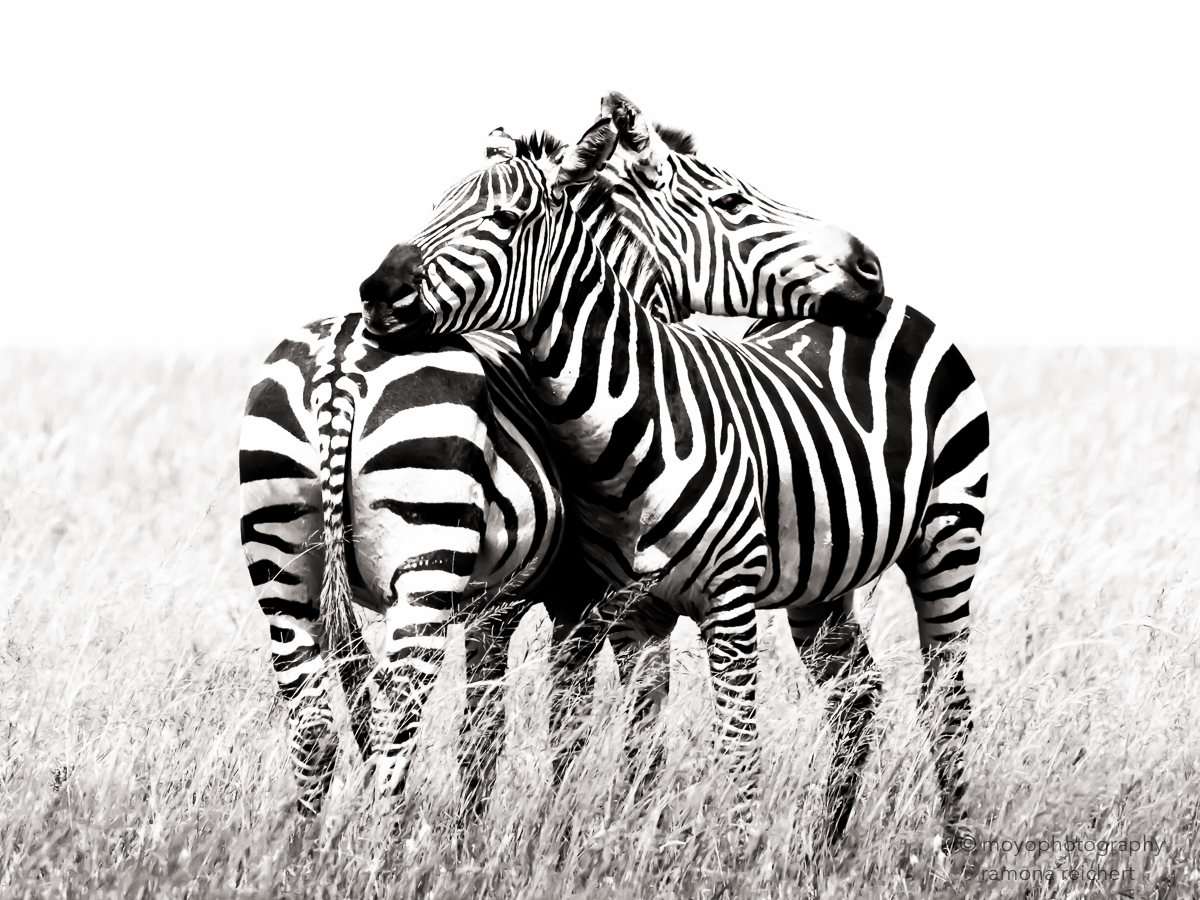 zebras embracing - 2015